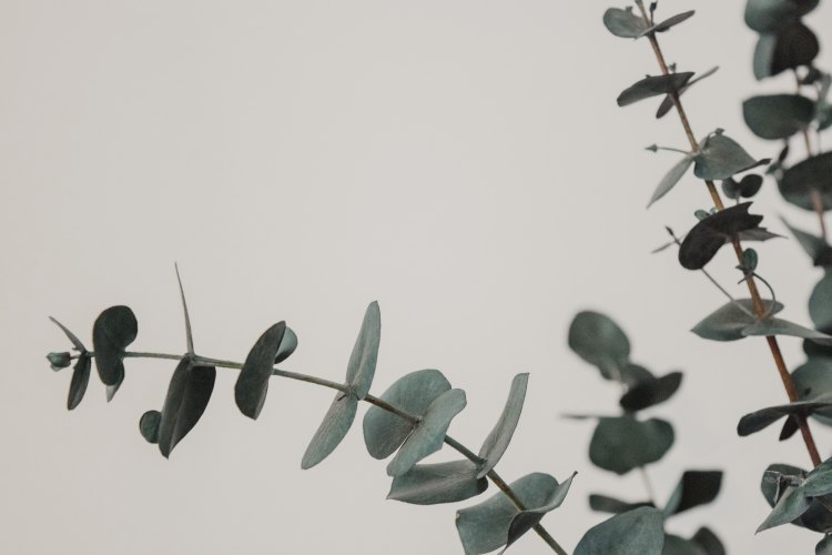 Lavande-et-eucalyptus